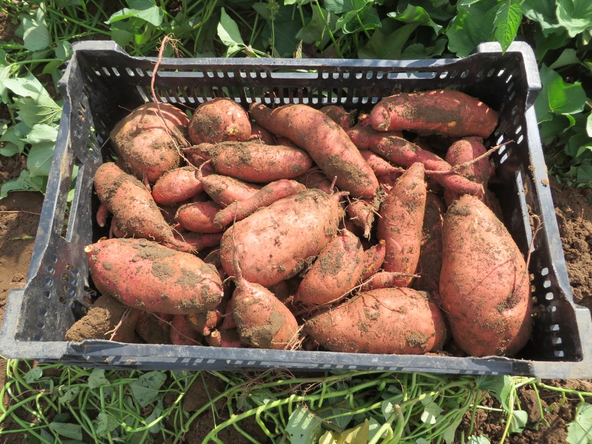 IMG_3182 sweet potatoes in crate